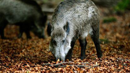 Everzwijn takelt 9 (!) getrainde husky's toe: 'mini-bulldozer' die sneller loopt dan Usain Bolt