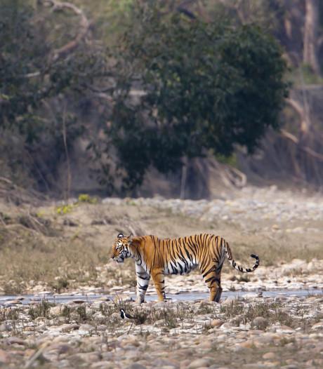 Aantal tijgers in Nepal bijna verdubbeld