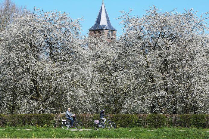 Een bloeiende kersenboomgaard in Zoelen