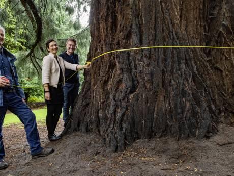 De dikste boom van Nederland staat in Brummen: 'Onze mammoet begroet ons elke ochtend vanuit de achtertuin'