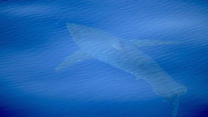 Voor het eerst in 30 jaar witte haai gespot in buurt van Mallorca