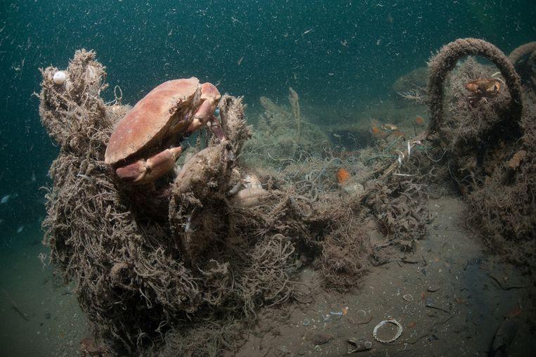 Noordzeekrab verstrikt in vissersnet. Beeld Cor Kuyvenhoven