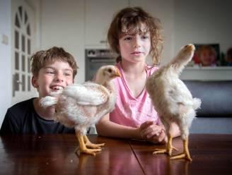 Loïs (7) en Tijmen (10) uit Vught slachten straks hun eigen kip: 'Dat is niet zo leuk'