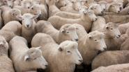 Politie vangt loslopende schapen