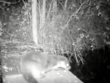Otter is blijvertje in Reeuwijk, weer schittert er eentje op beeld: 'Hopelijk letten automobilisten op'