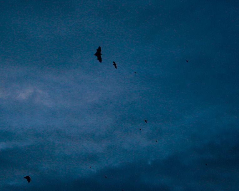 Wanneer het donker wordt kan je de zwerm vleermuizen zien voorbij vliegen over het water. Het spektakel duurt maar enkele minuten maar is fantastisch om te zien.  Beeld Rebecca Fertinel