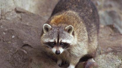 EU verplicht lidstaten om wasberen te bestrijden