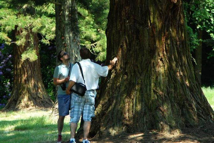Mammoetboom in het pinetum van Landgoed De Utrecht Hilvarenbeek