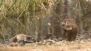 Aandoenlijk beeld van koala bij dode soortgenoot ontroert de wereld