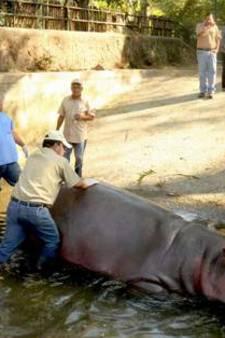 El Salvador in shock: Nijlpaard sterft na mishandeling