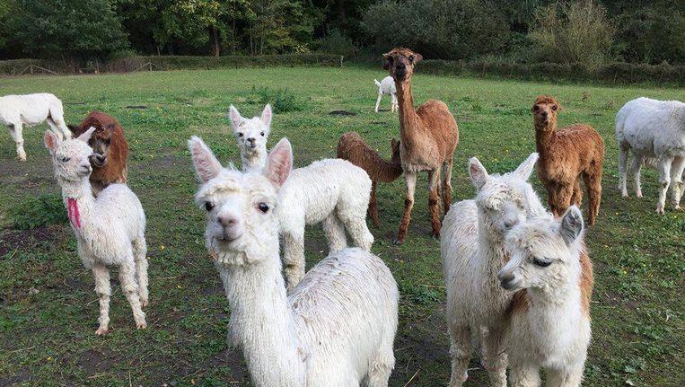 Vijf schattige alpaca's te koop en dit betaal je ervoor