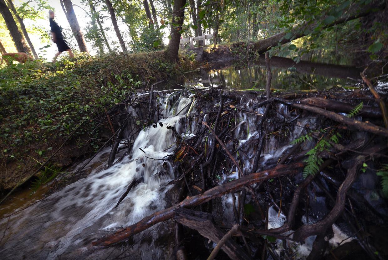 Bevers houden niet van droogte en daarom bouwde een bever of beverkoppel de dam. In 1826 werd de laatste bever in Nederland doodgeslagen in de IJssel. In 1988 begon men met de herintroductie van de bever.  Beeld Marcel van den Bergh / de Volkskrant
