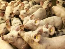 Varkens door rooster gezakt: vijf dieren dood, tientallen gered