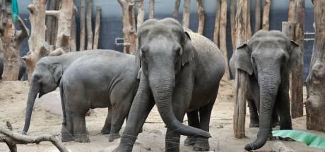 Droevige dag in DierenPark Amersfoort: het jong van olifant Indra leeft waarschijnlijk niet meer