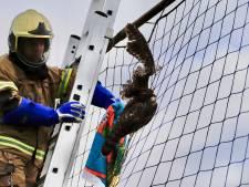 Buizerd vliegt in net van voetbalclub in Haps en moet door brandweer worden bevrijd