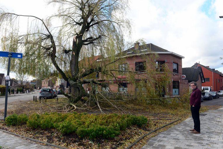 Ook de historische boom voor De Kastaar in Kessel-Lo is tegen de vlakte gegaan door de sterke wind (foto boven).