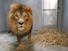 Overleden leeuw Dukat (16) had zenuwbeknelling in rug door artrose