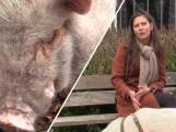 Kim heeft een varken van 85 kilo als huisdier
