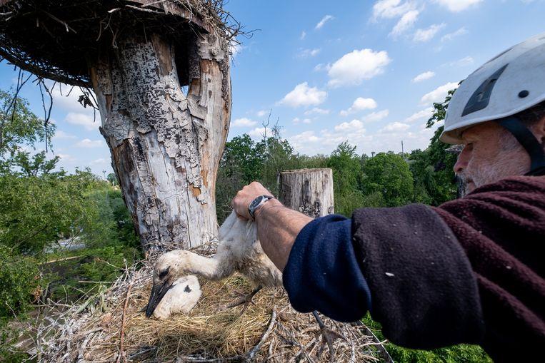 Jean Niesz plukt een jonge ooievaar van zijn nest.
