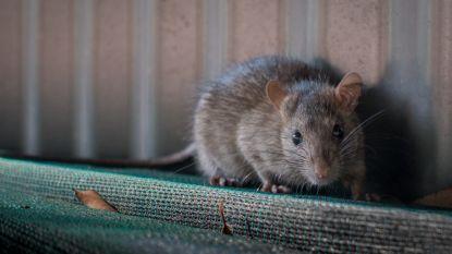 Nadat dierenarts 'rattenziekte' vaststelt bij hond: gemeente roept op tot waakzaamheid