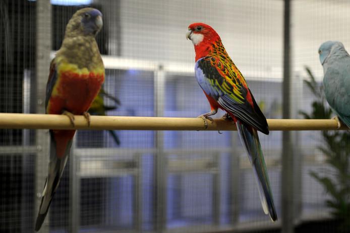 Zo'n 300 vogels werden ingebracht voor de onderlinge show van Zang en Kleur in het gebouw van postduivenvereniging Vitesse aan de Veldsweg in Nijverdal, die nog tot zaterdagmiddag kan worden bezocht.