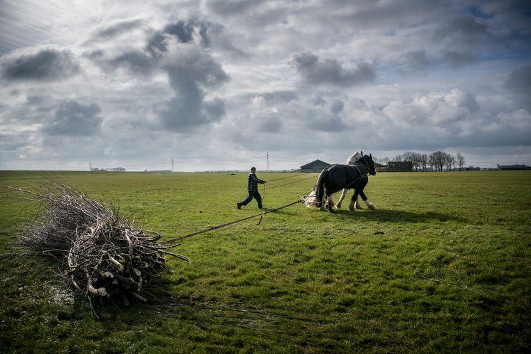 Twee trekpaarden, een Hongaar en een Shire, slepen in het Groningse Garnwerd  snoeihout van het weiland.  Beeld Hollandse Hoogte