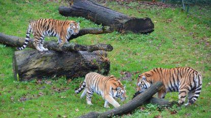 """Bellewaerde verwelkomt vier zeldzame Amoertijgers: """"We willen ons steentje bijdragen aan de conservatie van bedreigde diersoorten"""""""