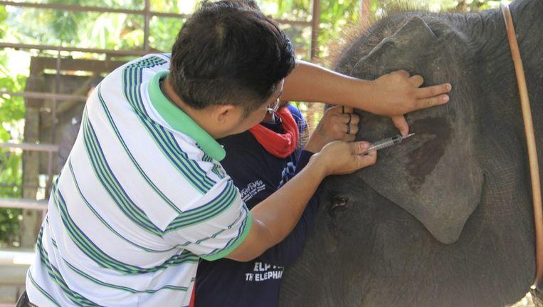 Een dierenarts neemt een bloedmonster van een niet-geregistreerde olifant op het Thaise toeristeneiland Phuket. Beeld epa