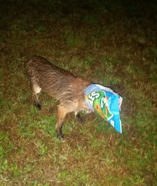 De vos is inmiddels van de zak bevrijd.