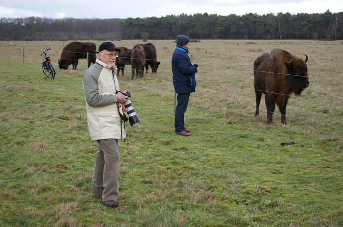 De gewenning in de Maashorst in beeld: wisenten komen tot heel dicht bij de afrastering rond hun gebied, waar enkele liefhebbers staan te kijken..