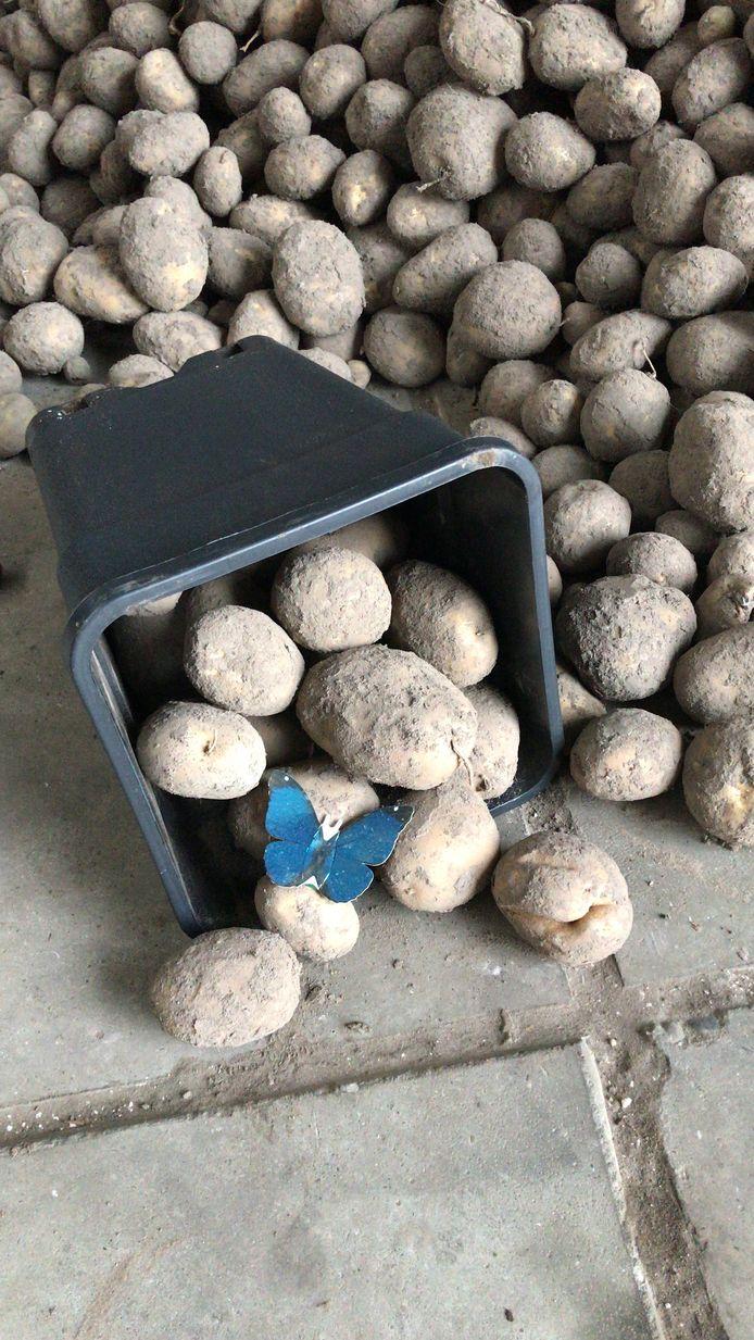 Aardappels vrijwilligersactie Best In De Benen voor Bijna Thuis Huis De Vlinder