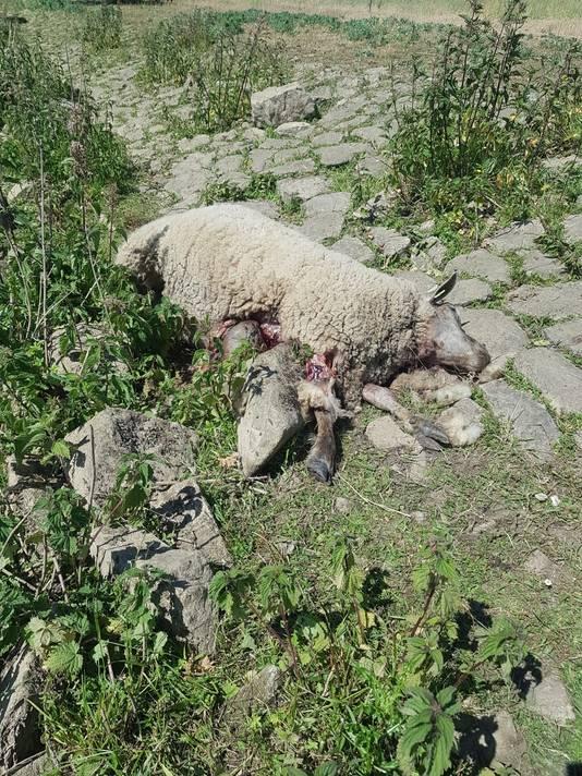 Eén van de gedode schapen in Aalburg.
