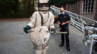 """Nest Aziatische hoornaars verwijderd in Leuven Centrum: """"Zeker melden, want hoornaars zijn ernstige bedreiging voor bijen"""""""