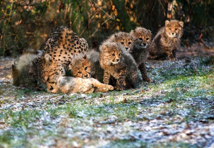 De zes welpjes en hun moeder in Burgers' Zoo.