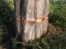 Tientallen jaren oude spar in Bruchem met opzet beschadigd: gemeente moet boom weghalen