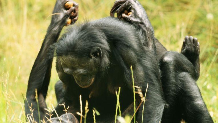 Parende Chimpansees. Beeld M. Watson / ardea.com