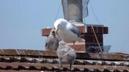 'The Birds' in het echt: koppel kan dagenlang huis niet uit door agressieve zeemeeuwen