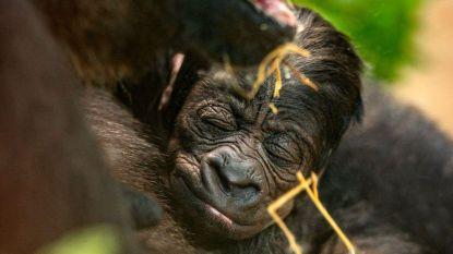 Wordt het Virunga, Vizazi of Vunga? Publiek beslist mee over naam babygorilla