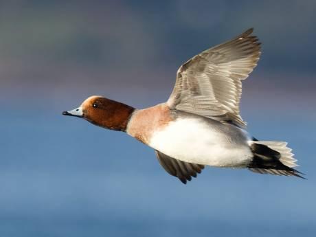 Natuur- en Milieufederatie: 'Stop nu eindelijk eens met jacht op smient'