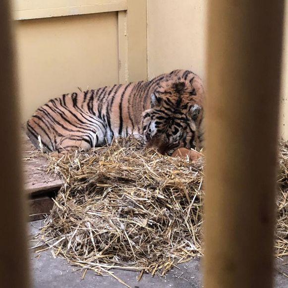 De tijgers werden onder verschrikkelijke omstandigheden van Italië naar Rusland vervoerd. De dieren zijn daar aan het aansterken. Sommige kunnen niet meer lopen.