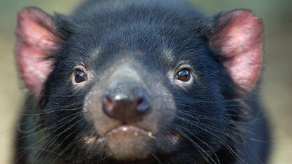 Kan groepje Tasmaanse duivels soort redden van ondergang?