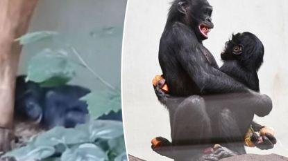 Een week goed nieuws: gepeste bonobo heeft eindelijk vriendjes gevonden en andere verhalen die je blij maken
