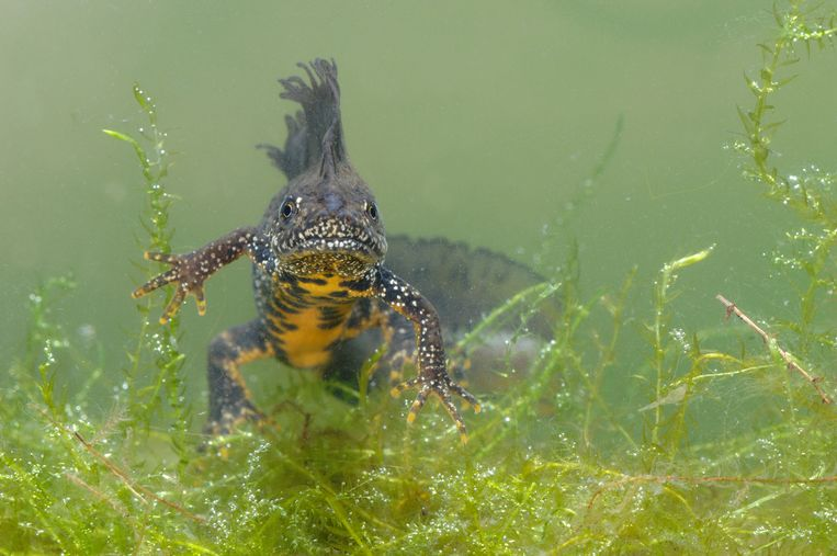 De kamsalamander (Triturus cristatus) is een bedreigde diersoort.  De provincie West-Vlaanderen helpt het beestje te beschermen.