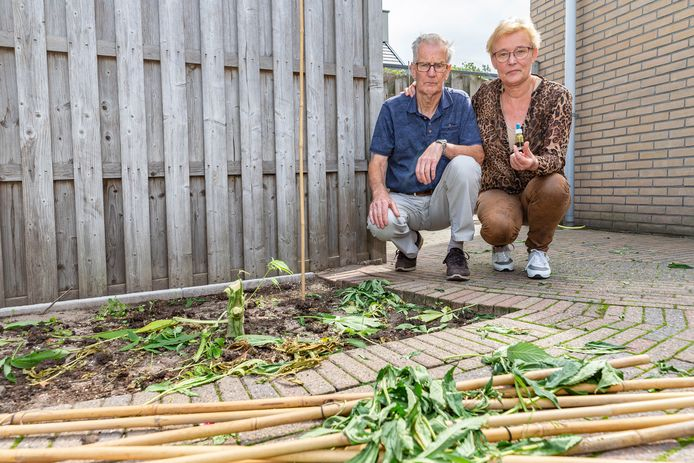 Jan en Jannie van Raalte uit Hasselt zonder wietplanten in hun tuin. De politie haalde de planten weg terwijl het echtpaar niet thuis was. Jan kweekt de planten om wietolie mee te maken voor zijn vrouw.