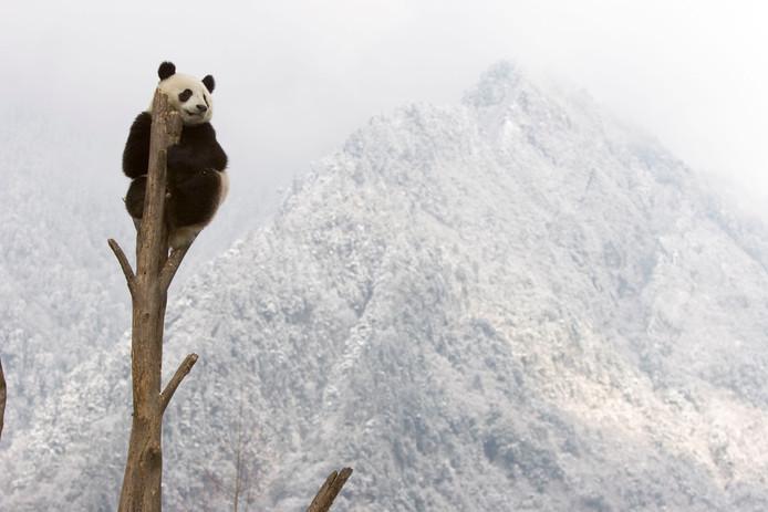Reuzenpanda in een boomstronk in Sichuan, China. Als de temperatuur blijft stijgen worden de meeste gebieden waar de reuzenpanda's leven warmer en droger. Gebieden verder naar het noorden zullen dan geschikter voor hem zijn dan de huidige. Maar bamboe, de plant die 99% van het dieet van de reuzenpanda uitmaakt, kan het tempo van die opwarming niet bijhouden. Bamboe kan niet zo snel 'meebewegen' naar koelere plekken.