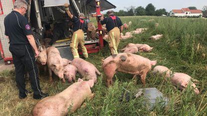 Tientallen varkens sterven na ongeval met vrachtwagen in Lubbeek