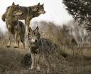 Witte vlekken bij de 'wangen', rechtopstaande oren, een dichtbehaarde staart die naar beneden hangt (geen krulstaart dus): dat zijn kenmerken waaraan je in een flits een wolf kunt herkennen.