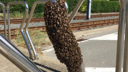 Bijen bezetten paaltje, imker lokt zwerm met korf