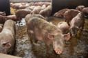 Een ruime varkensstal in Zijtaart.