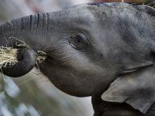 Olifant Kyan vertrekt uit DierenPark Amersfoort